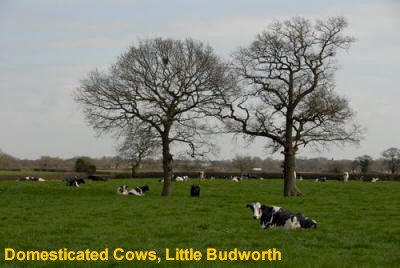 Domesticated Cows, Little Budworth